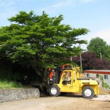 Helping to relocate a large tree in UBC area